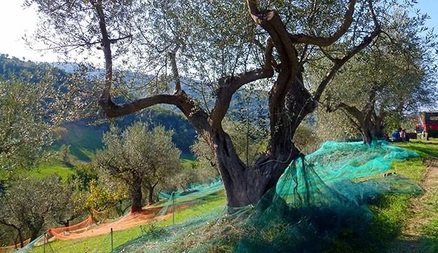 Oliiviõli Itaaliast