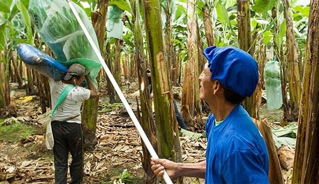 Banaanipüree Ecuadorist